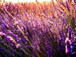 paarsebloemen