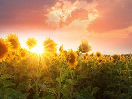 zonnebloemen1